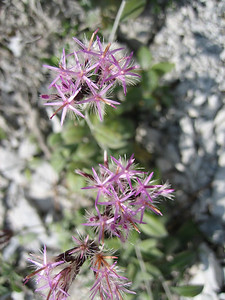 Staehelina uniflosculosa (Between Litochoro and Prionia at the foot of Mount Olympus)