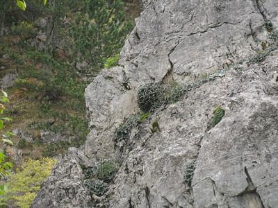Jankaea heldreichii - an endemic species of Mount Olympus (Between Prionia and Refuge A, Mount Olympus)