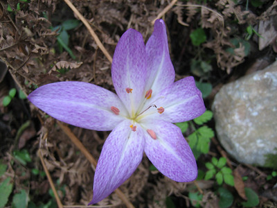 Colchicum bivonae - syn. Colchicum sibthorpii (near Prionia at the foot of Mount Olympus)