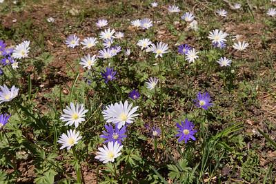 Anemone blanda, syn. Anemone apennina ssp. blanda