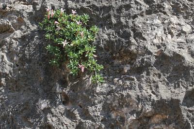 Daphne jasminea, near Delphi