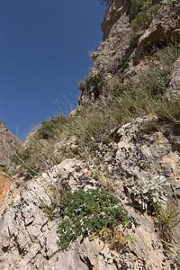 Habitat of Daphne jasminea and Campanula topaliana ssp. delphica