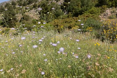 Knautia aff. integrifolia