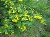 Colutea arborescens? (between Naples and Gargano)