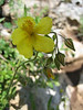 Helianthemum spec.? (Gargano)