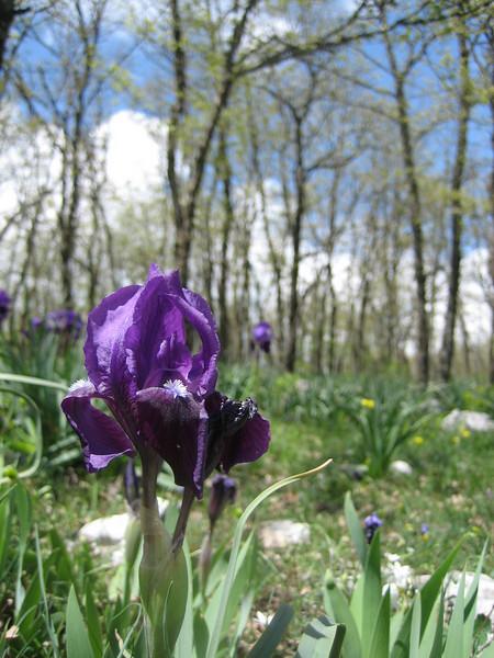 Iris bicapitata (Gargano)