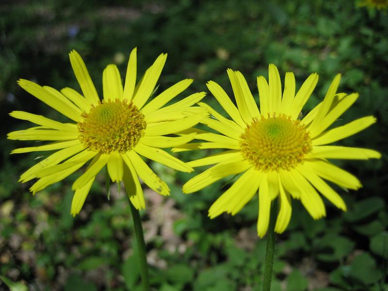 Doronicum orientale?, photograph by Marijn van den Brink