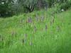 Orchis purpurea (between Naples and Gargano)