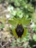 Ophrys phryganae (Gargano)