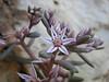 Sedum rubens, photograph by Marijn van den Brink (Gargano)