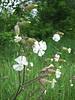 Silene latifolia ssp. alba, photograph by Marijn van den Brink