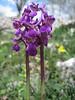 Orchis morio (Gargano)