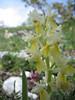 Orchis pauciflora (Gargano)
