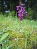 Orchis morio