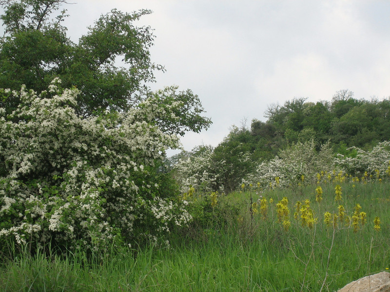 Asphodeline lutea and Crataegus spec. (between Naples and Gargano)