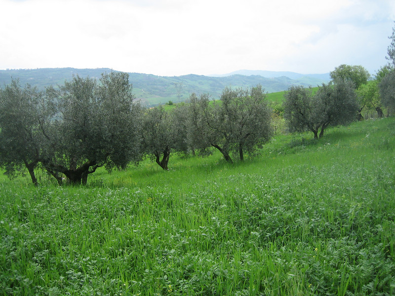 Olea europaea (between Naples and Gargano)