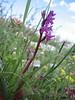 Orchis quadripunctata (Gargano)