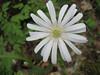 Anemone apennina (Gargano)