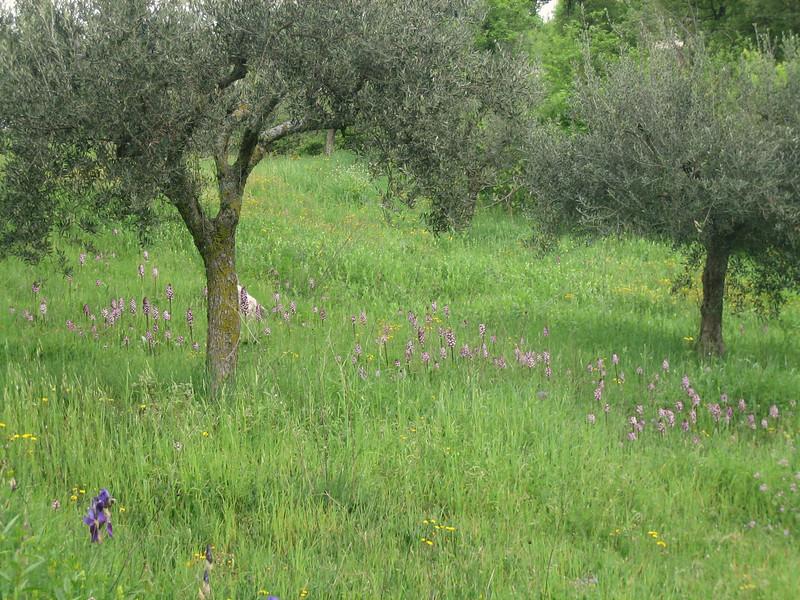 Orchis purpurea and Iris bicapitata (between Naples and Gargano)