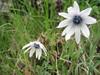 Anemone hortensis (between Naples and Gargano)