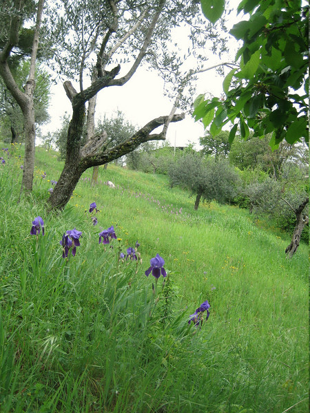 Iris bicapitata (between Naples and Gargano)