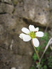 Saxifraga granulata (near the small village Monte St. Angelo in the Gargano peninsula, eastern Italy)
