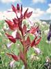 Orchis papilionacea (Gargano)