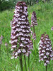 Orchis purpurea (between Naples and Gargano)
