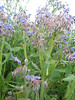Borago officinalis (between Naples and Gargano)