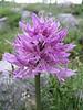 Orchis italica - unusual form (Gargano)