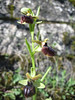 Ophrys passionis (syn. Ophrys garganica, Ophrys sphegodes ssp. passionis)