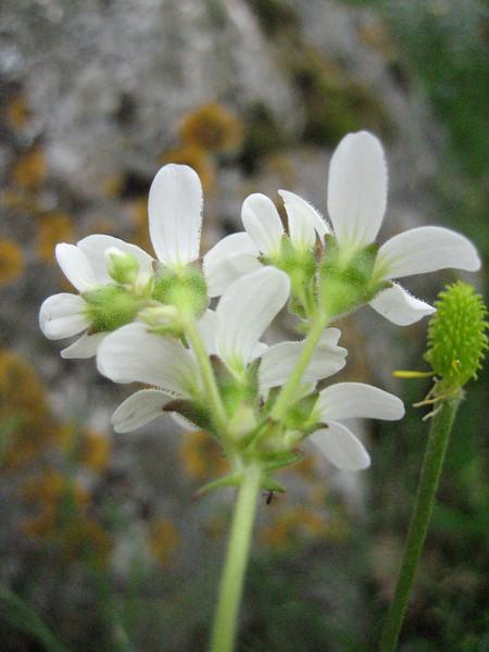 Saxifraga bulbifera (between Naples and Gargano)