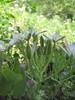 Ornithogalum umbellatum (Gargano)