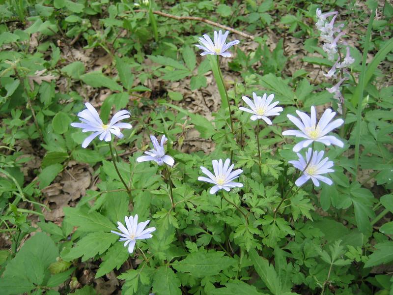 Anemone apennina and Corydalis solida? (Gargano)