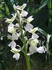 Orchis morio - a rare white form, photograph by Marijn van den Brink