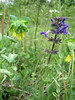 Cerinthe major and Salvia pratensis? (between Naples and Gargano)