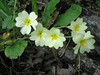 Primula vulgaris (between Naples and Gargano)