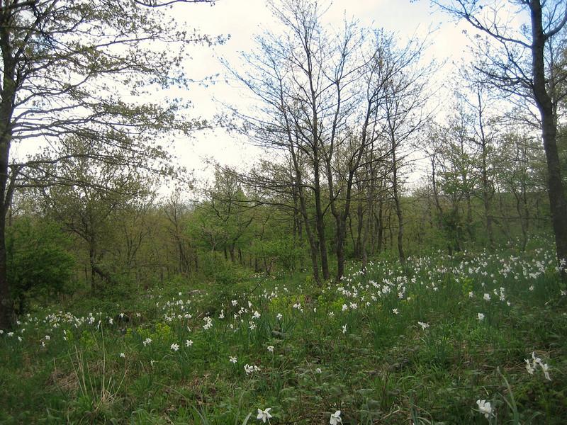 Narcissus poeticus (Gargano)
