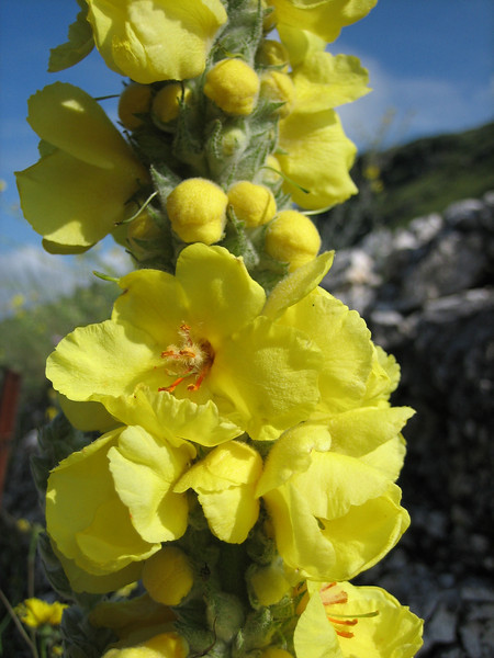 Verbascum thapsus, koningskaars in Dutch, photograph by Marijn van den Brink (Gargano)