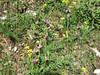 Ophrys biscutella (Gargano)