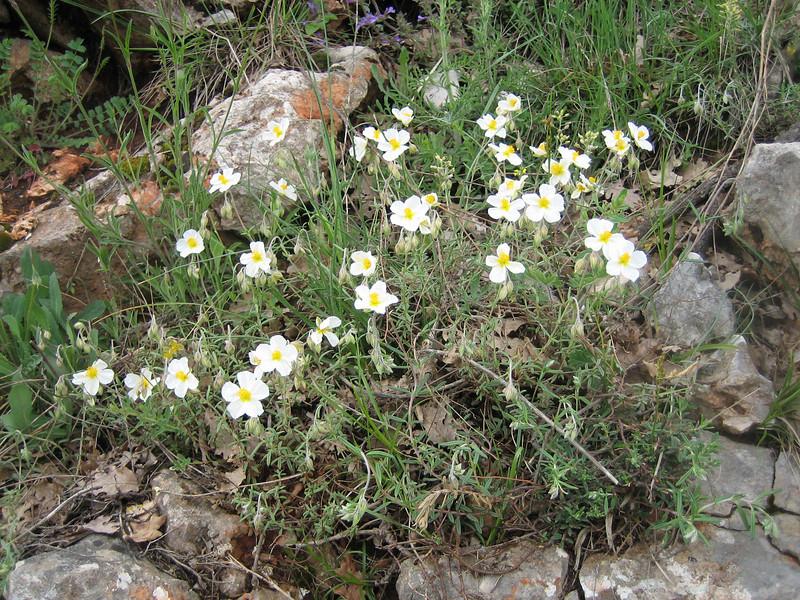 Helianthenum appeninum (Gargano)