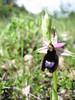 Ophrys bertolonii (Gargano)
