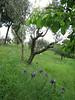 Iris bicapitata (between Naples and Gargano)