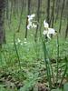 Narcissus  poeticus, photograph by Marijn van den Brink (Gargano)