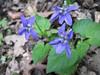 Viola riviniana (Gargano)