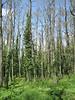 Anemone apennina in deciduous woodland