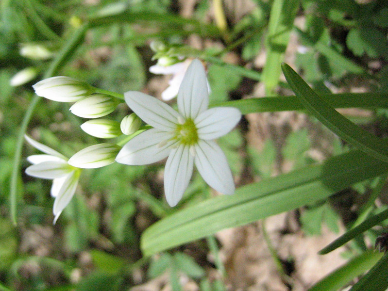 Allium triquetrum (Gargano)