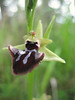 Ophrys incubacea (between Naples and Gargano)