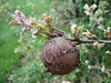 gall (oak apple), photograph by Marijn van den Brink