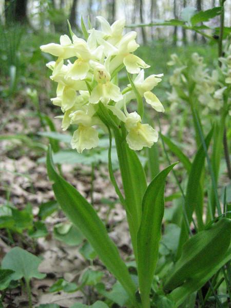 Dactylorhiza romana (Gargano)